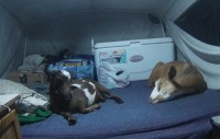 Holly (left) and Liberty (right) napping in the pop-up camper on location goatscaping