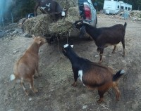 Clockwise from the top, Holly, Laurel, Ginger and Roger 3 rescues and a goatscaping retiree (Laurel)
